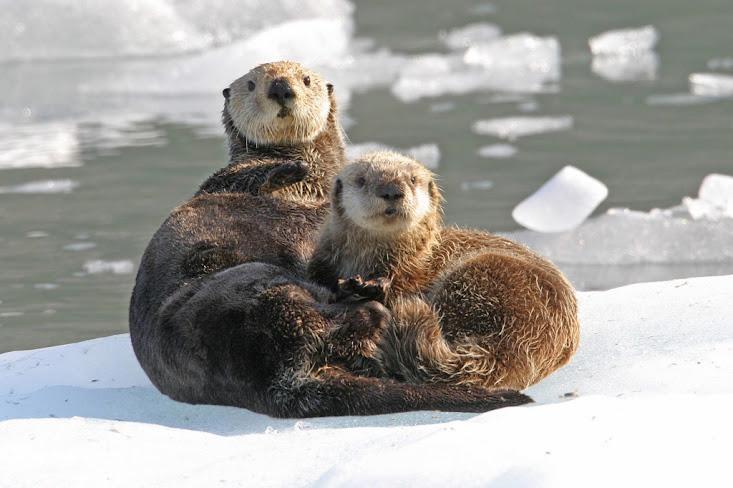 https://lh6.googleusercontent.com/-GbtCSwOd0RM/UYCRPQegv4I/AAAAAAAAA7Y/ftnOiSJNWeo/w733-h488/Sea+Otters.jpg