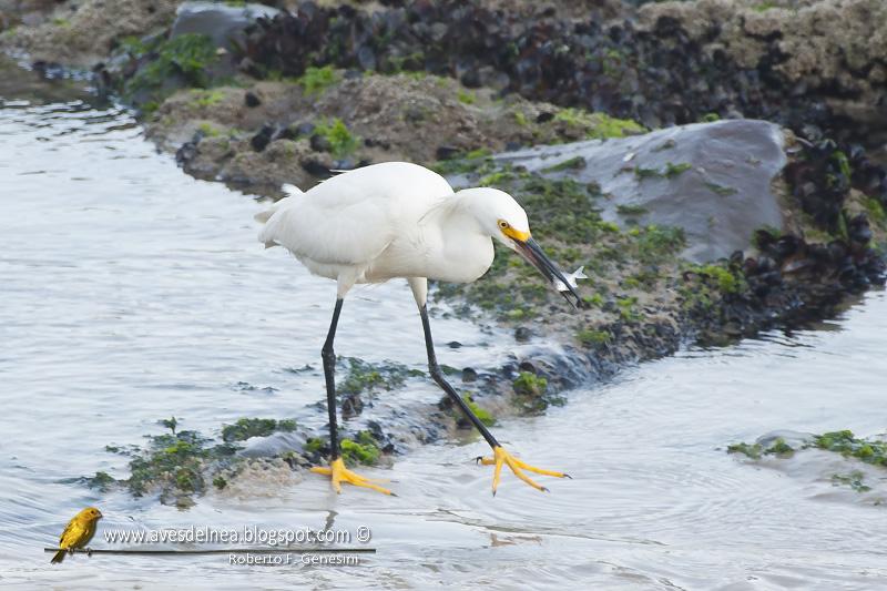 Garcita blanca, Snowy egret, Egretta thula