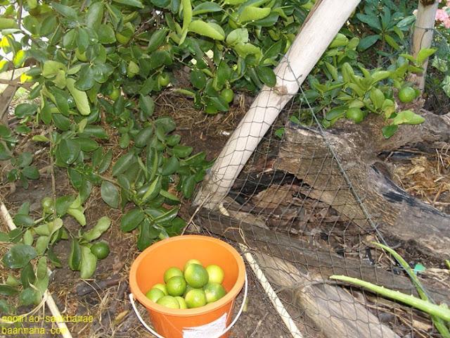 ผัก หมากไม้ อ้อมเฮียน