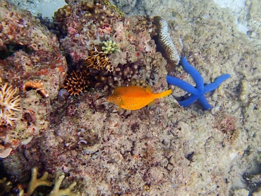 Ostracion cubicus (Yellow Boxfish), Miniloc Island Resort reef, Palawan, Philippines.