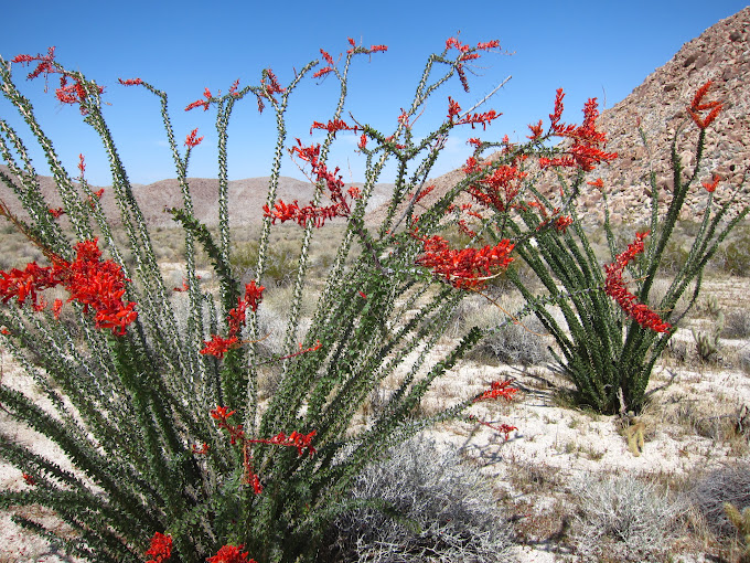 Hunting for Anza Borrego Wildflowers - 2012