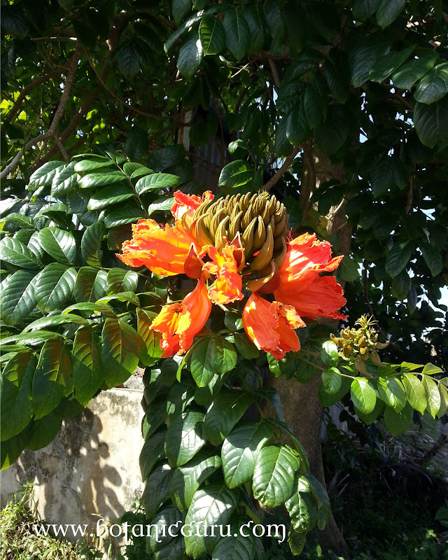Spathodea campanulata, African Tulip Tree, Uganda Flame, Flame Of The Forest, Fountain Tree, Nandi Flame, Nile Flame, Squirt Tree flowers