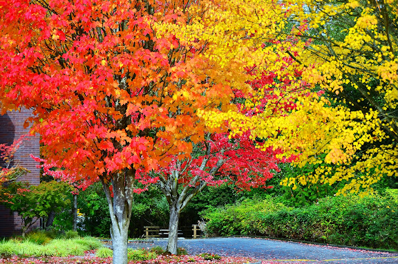 Fall colors on NE 87th Street, Redmond, WA