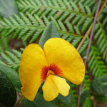 Yellow and red pea flower (348904)