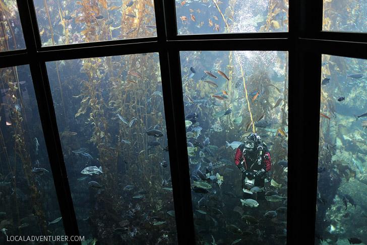 Kelp Forest Monterey Aquarium California.