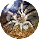 tarantula fang