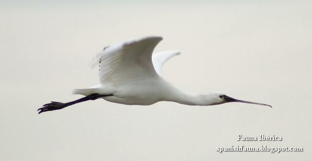 Espátula común en vuelo (Platalea leucorodia). Patas y cuello totalmente estirados