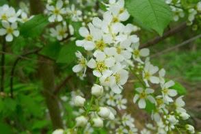 Czeremcha zwyczajna Prunus padus