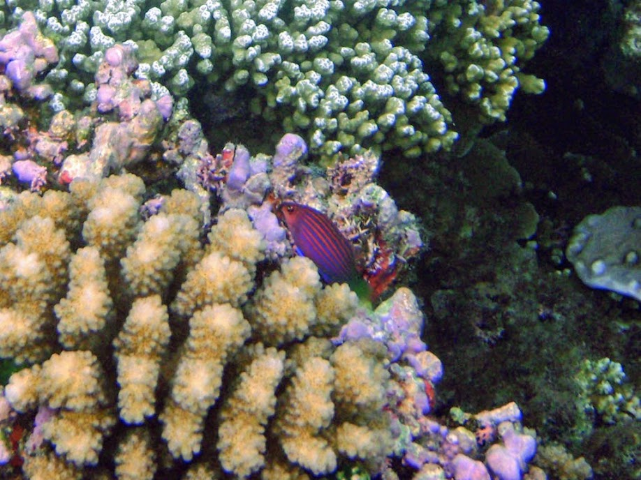 Pseudocheilinus hexataenia (Six Line Wrasse), Naigani Island, Fiji.
