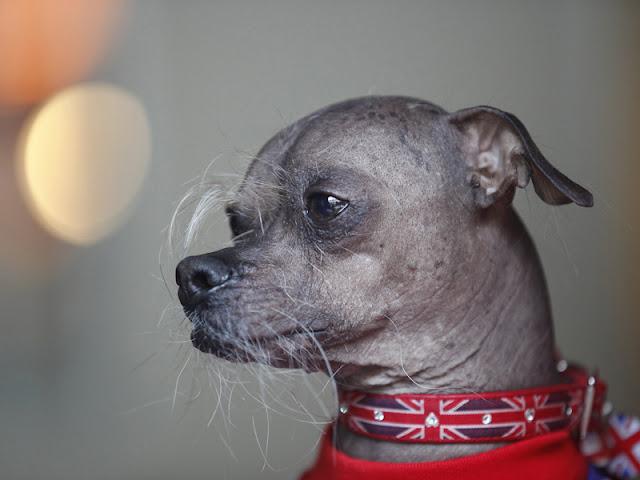 Mugly , Anjing Terjelek 2012