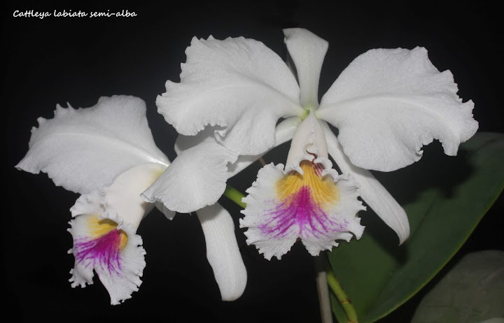 Cattleya labiata semi-alba IMG_0241b%2520%2528Medium%2529
