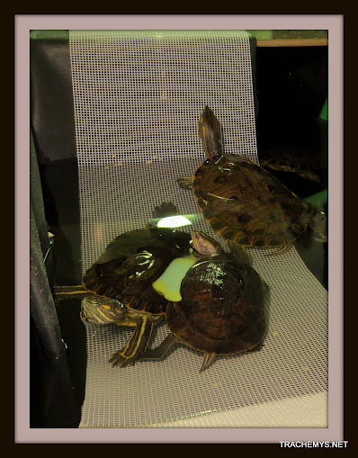 mes tortues (BK) - Page 10 IMG_2122