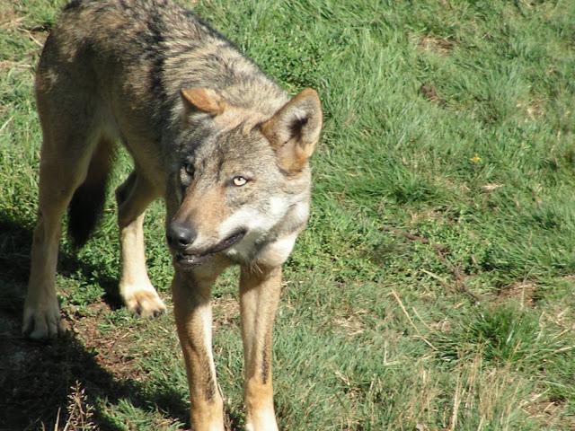 Les Loups de Chabrière PICT0507