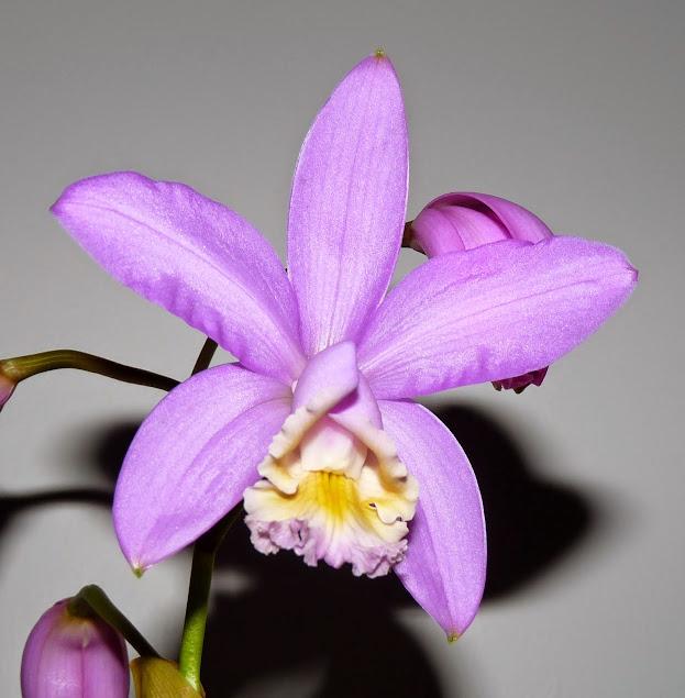 Cattleya harrisoniana P1430109