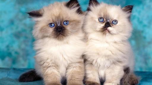 Himalayan Kittens.jpg