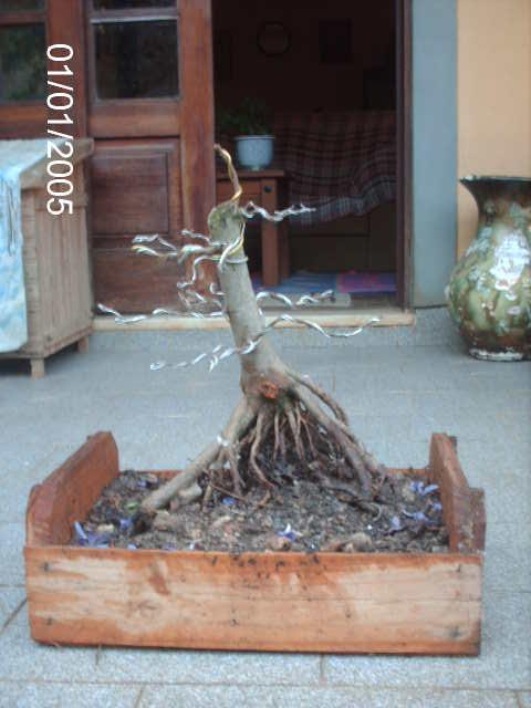 Ficus Microcarpa var. Indica... PICT1623