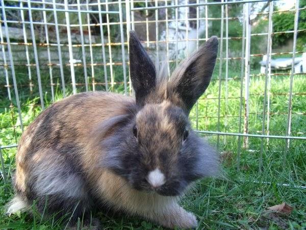 [adoptée]-Nala, lapine noire et marron, avec le bout du nez blanc Nala6-c4629