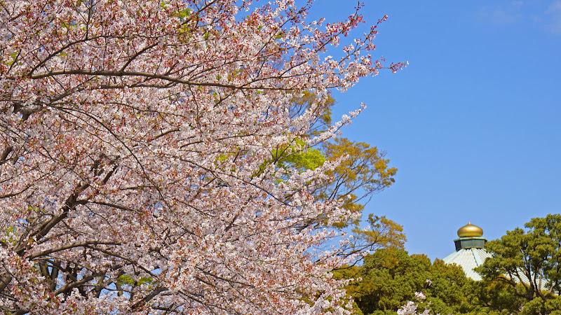 千鳥ヶ淵 桜 写真24