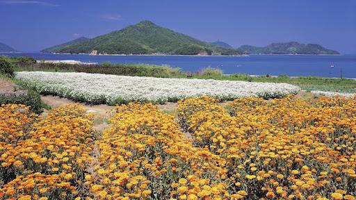 Calendula, Setonaikai National Park, Takumacho, Kagawa, Japan.jpg