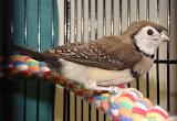 fledgeling Owl Finch
