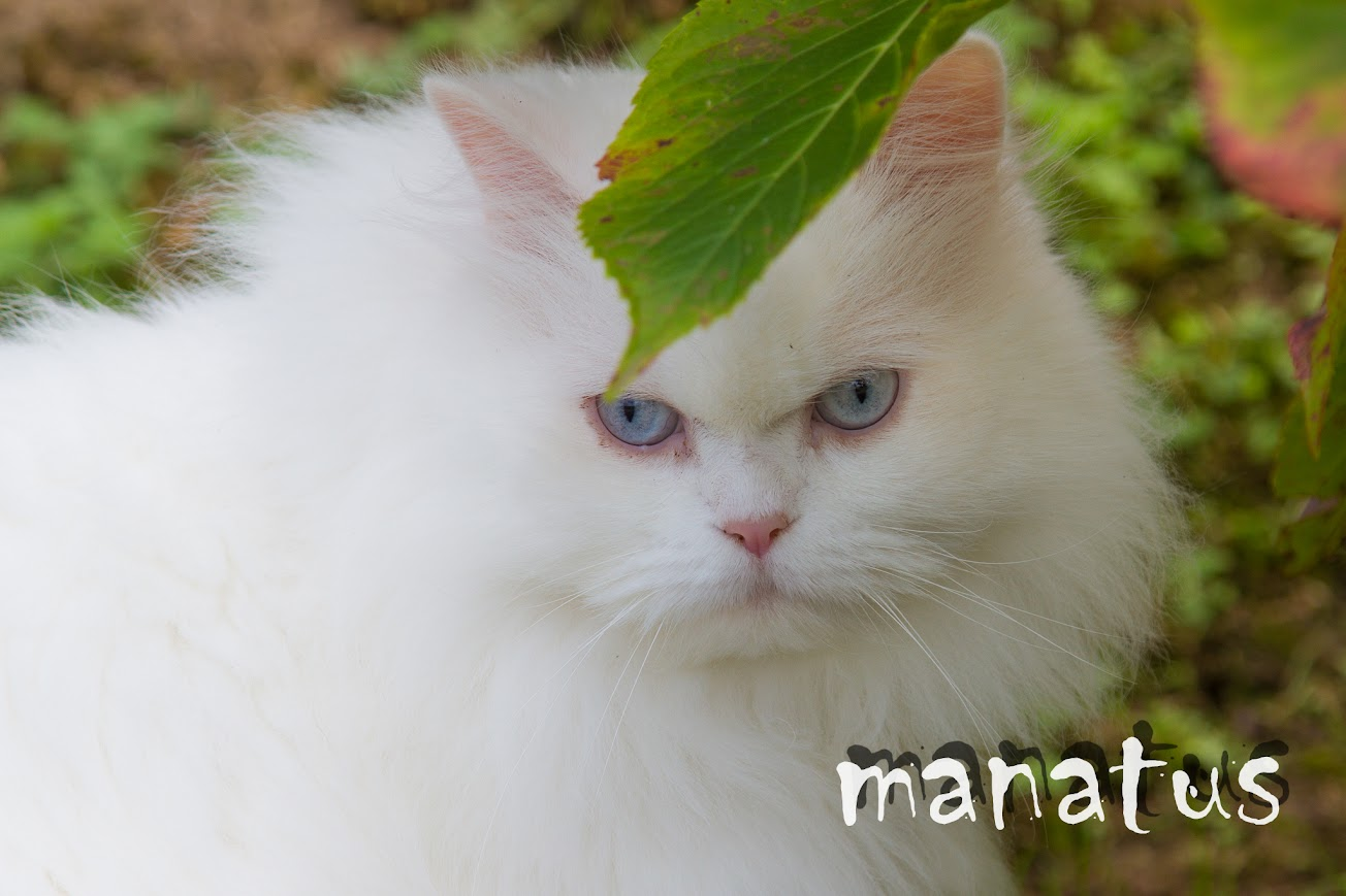 manatus foto blog gato