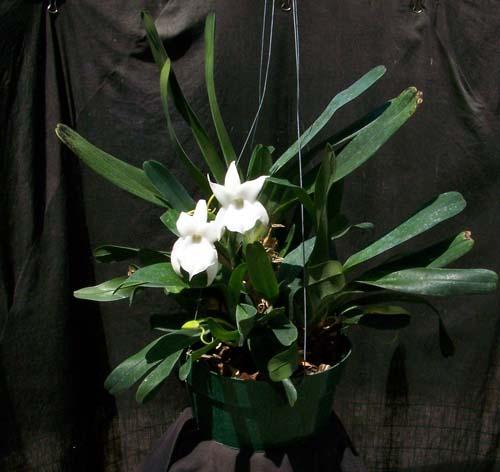 Растения из Тюмени. Краткий обзор Angcm_magdalenae_plant