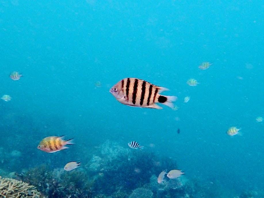 Abudefduf lorenzi (Black-tail Sergeant), Lusong Island, Coral Garden Reef, Palawan, Philippines.