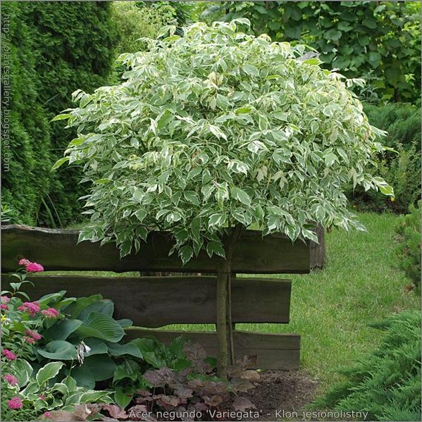 Acer negundo 'Variegata' - Klon jesionolistny pokrój szczepionej rośliny
