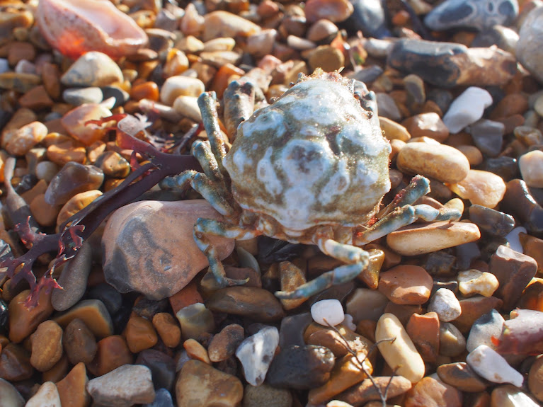 crab washed ashore