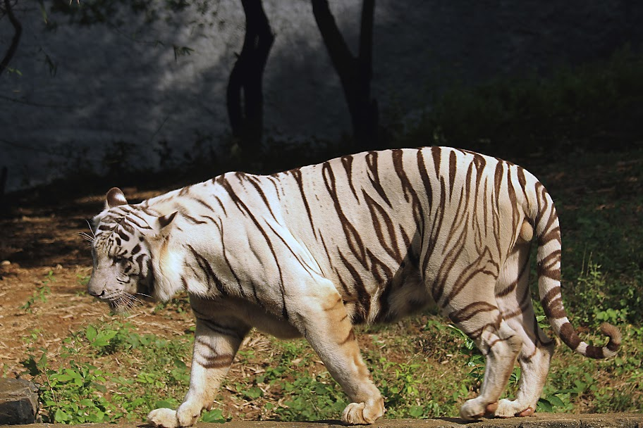 Vandalur Zoo - White Tiger