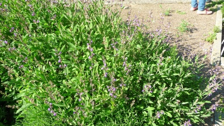 Szałwia lekarska podczas kwitnienia Salvia officinalis blooming