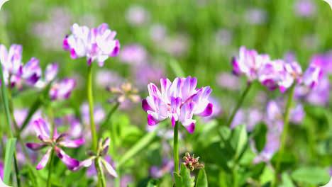 鹿児島の春 れんげ畑