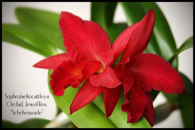 Растения из Тюмени. Краткий обзор - Страница 7 Slc-cattleya-jewel-box-sche