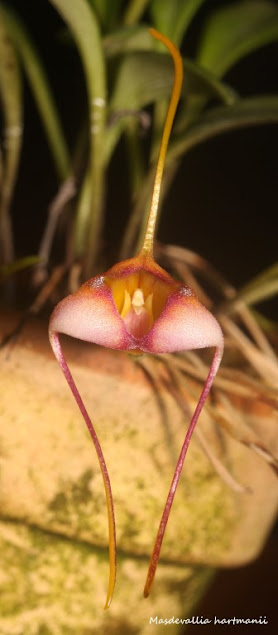 Masdevallia hartmanii IMG_0041b+%2528Medium%2529
