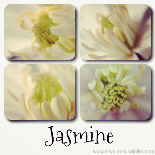 Jasmine%2520Picture%2520%253A%2520Wonderweirded%2520Wildlife%2520Watch%2520