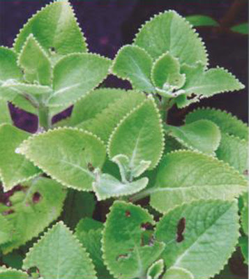 Country Borage - Medicinal Plants healing