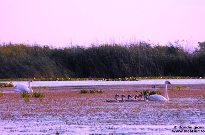 lacul Cuibul cu Lebede: lebede și pui de lebede
