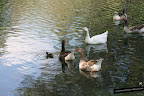 Todos los patos iban siguiendo al patito, rodeándolo y protegiéndolo