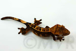 Partial pinstripe harlequin crested gecko from moonvalleyreptiles.com