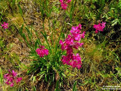 flori roz de mai in Macin: lipicioasa