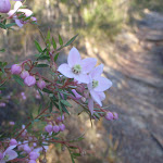 Pink Boronia in flower (71866)