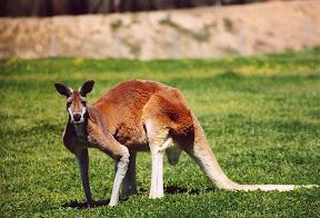Kangaroos vrs Drones: 1 to Zero