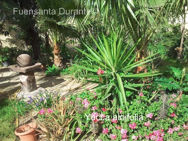 Plantas para jardines mediterr neos yucca aloifolia - Yucca elephantipes cuidados ...