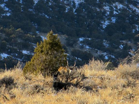 Deer hiding in the sagebrush