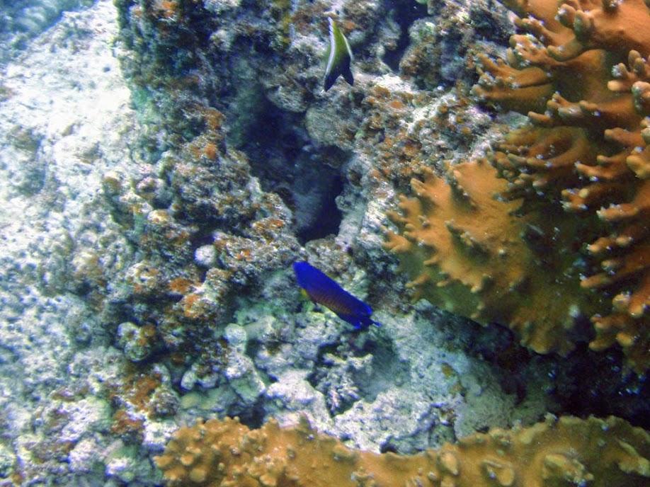 Centropyge bispinosa (Coral Beauty Angelfish), Naigani Island, Fiji.