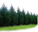 الاشجار المستخدمة كمصدات رياح