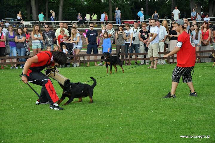Rottweilery gryzą aktywnego pozoranta