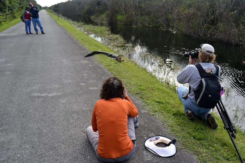 Аллигатор. Национальный парк Эверглейдс, Флорида (Everglades National Park, FL)