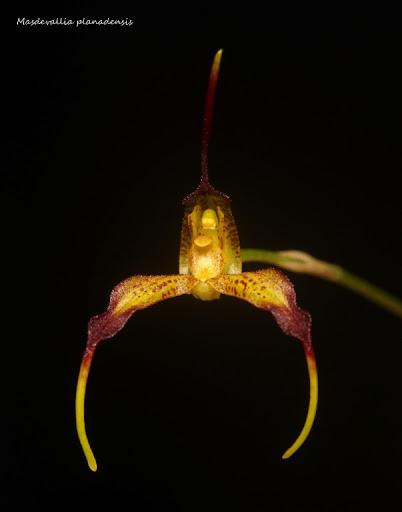 Rodrigoa planadensis ( ex. Masdevallia planadensis ) IMG_1276bb%2520%2528Medium%2529
