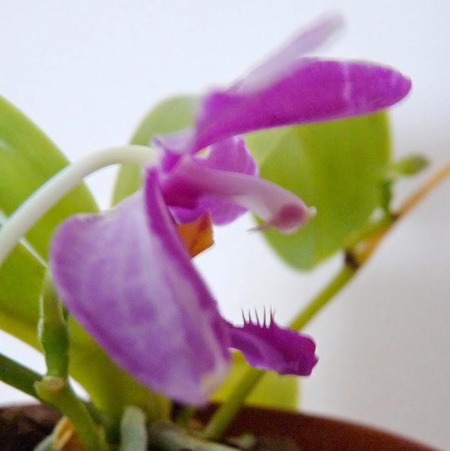 Phalaenopsis pulchra P1420795